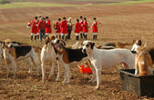 Foxhounds. — Stock Photo