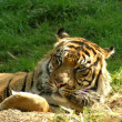 Stock Photo: Tiger (Panthertigris)