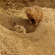Prairie-dog. - Stock Photo