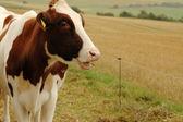 Cow. — Stock Photo