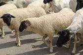 Gregge di pecore. — Foto Stock