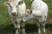 Beyaz inekler. — Stok fotoğraf