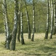 Birch grove. — Stock Photo
