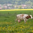 Cow in the pasture. — Lizenzfreies Foto