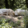 Family of polar wolves. - Stock Photo