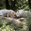 Stock Photo: Family of polar wolves.