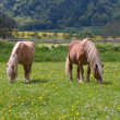 Stock Photo: Horses graze.