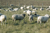 Moutons. — Photo