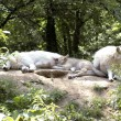 Family of Polar wolf (canis lupus tundrorum) — Stock Photo