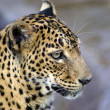 Leopard's stare. - Stock Photo