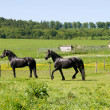 Horses Friesian. — Stock Photo