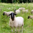 Stock Photo: Herd of sheep.
