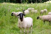 Herd of sheep. — Stock Photo