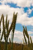Ears of wheat. — Stok fotoğraf
