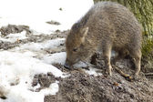 Piglet peccary. — Stock Photo