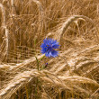 Cornflower among the wheat. — Stock Photo