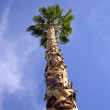 Stock Photo: Tall Palm Tree