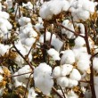 Cotton Balls — Stockfoto