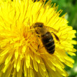 A bee is on a flower — Stock Photo