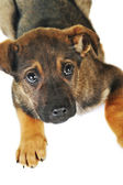коричневая собака — Стоковое фото