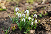Snowdrop flowers — Stock Photo