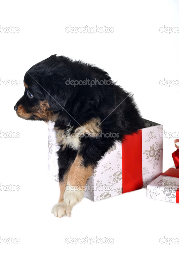 Black puppy and gift box  isolated — Stock Photo #2806358