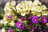 Blossoming flowers of primrose — Stock Photo