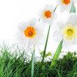 Royalty-Free Stock Photo: Blossoming narcissuses