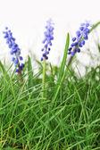 цветок гиацинта — Стоковое фото