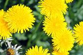 Tarassaco in fiore — Foto Stock