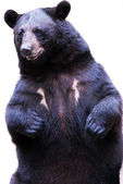 Black bear — Foto Stock