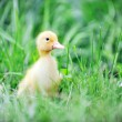 Stock Photo: Duckling on green grass