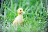 Ankungar på grönt gräs — Stockfoto