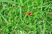 Farfalla rossa — Foto Stock