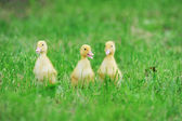 Three fluffy chicks — Foto Stock