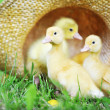 Fluffy ducklings — Stock Photo #3473100