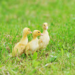 Stock Photo: Three fluffy chicks