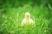 Caneton sur l'herbe verte — Photo