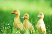 Three fluffy chicks — Stock Photo