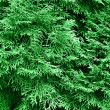 Stock Photo: Green thuja