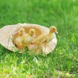 Fluffy ducklings — Stock Photo #3522090