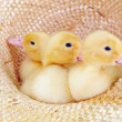 Yellow fluffy ducklings — Stockfoto