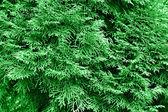 Green thuja — Stock Photo