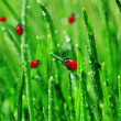 Dew on green grass — Stock Photo #3567783