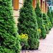 Green thuja - Stock Photo