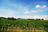 Alan mısır bitkileri — Stok fotoğraf