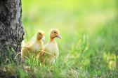 Dois filhotes fofos — Fotografia Stock