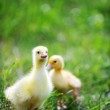 Two fluffy chicks — Stock Photo #3707503