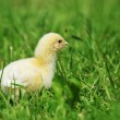 Stock Photo: Chick and green grass