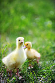 Two fluffy chicks — Stock Photo